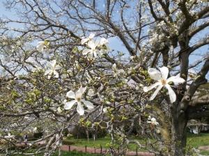 中之島公園のコブシの花