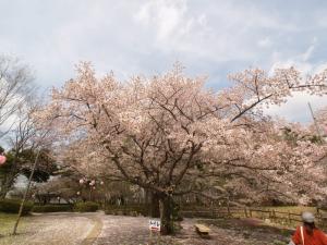 逆井城の桜